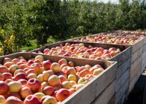 apple picking in Michigan