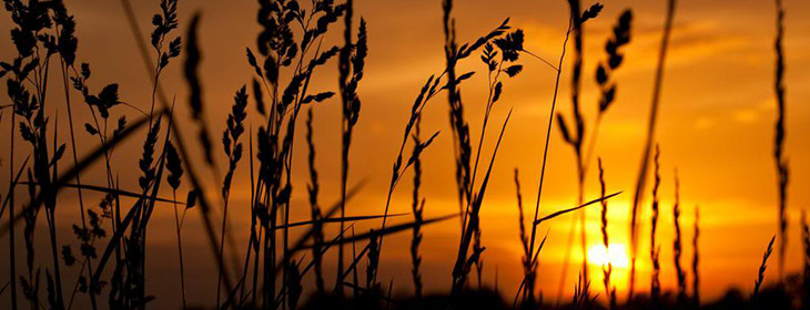 Silhouette of wheat with sunset in the background