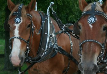 two horses hitched to a carriage