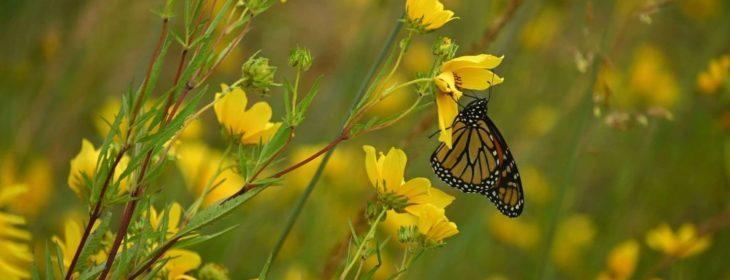 Beautiful butterfly flying around yellow wildflowers