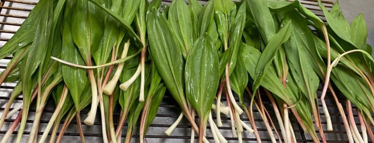 Ramps, or green, wild onions on the kitchen counter ready for cooking