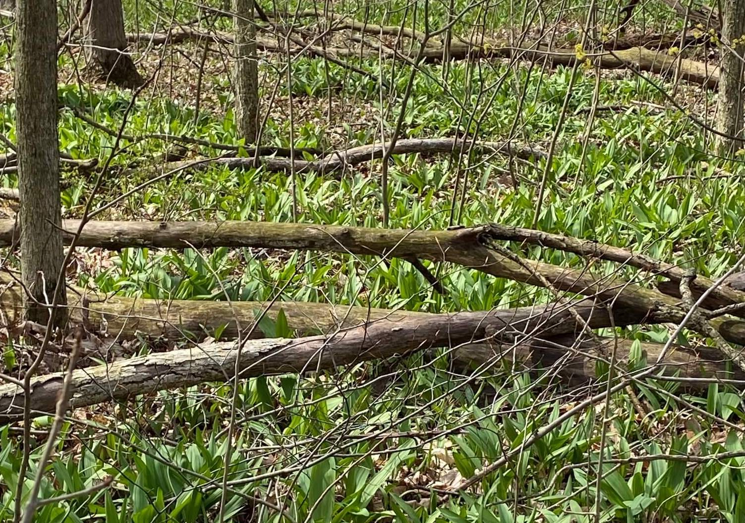 Ramps, or wild onions, growing on the Castle grounds in the woods