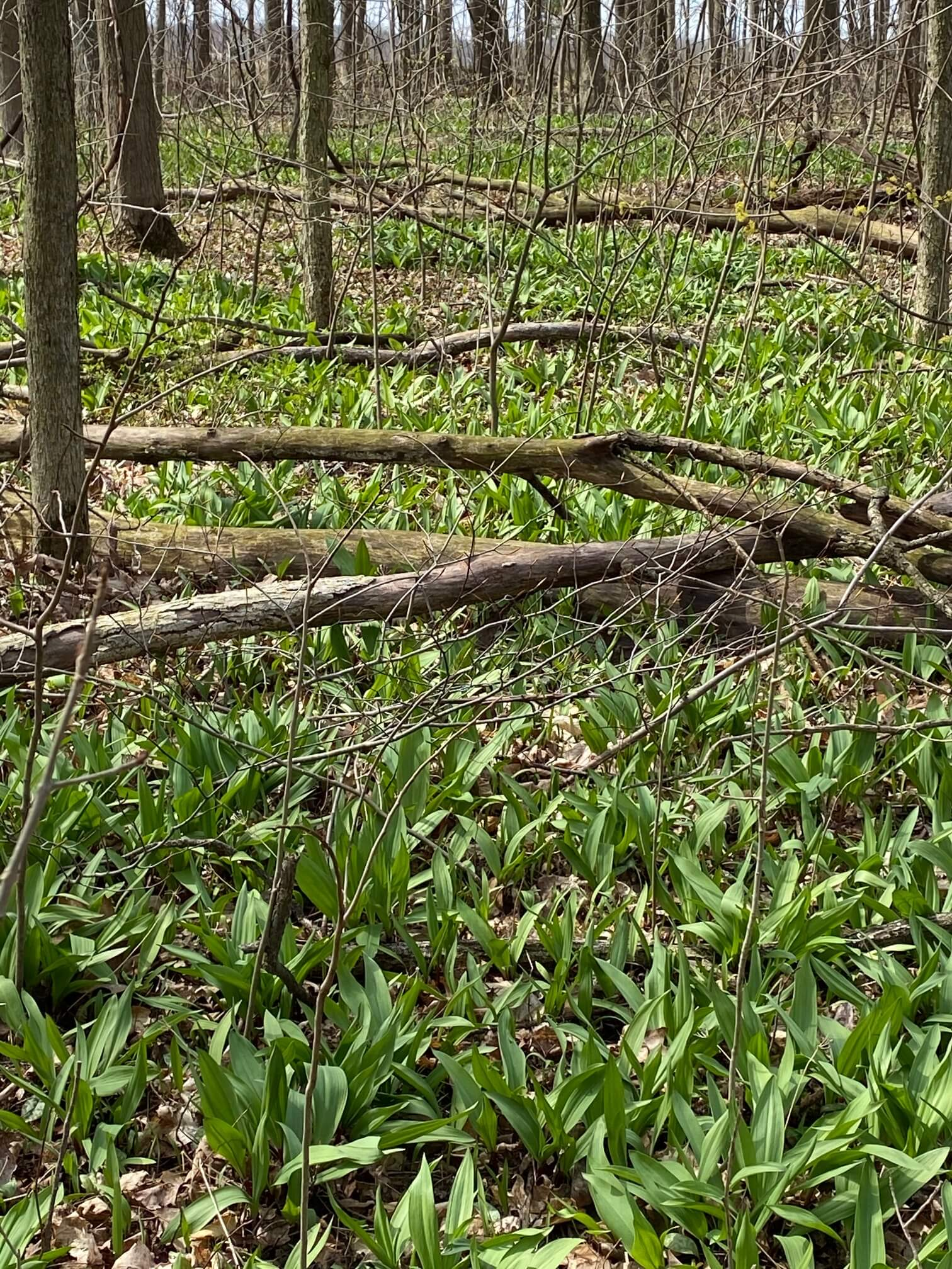 Ramps, or wild onions, growing wild in the woods at The Castle
